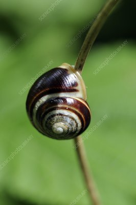 Snail glued to a plant