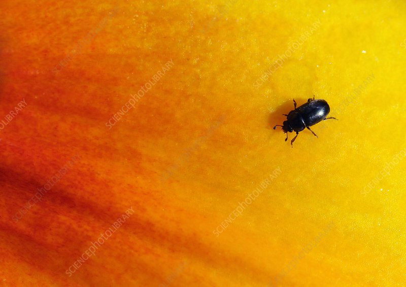 Beetle on a lily petal