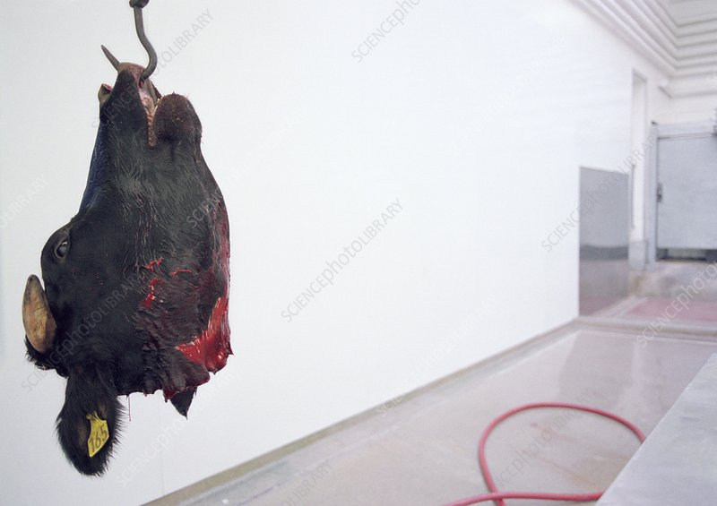 Beef carcasses hanging in an abattoir