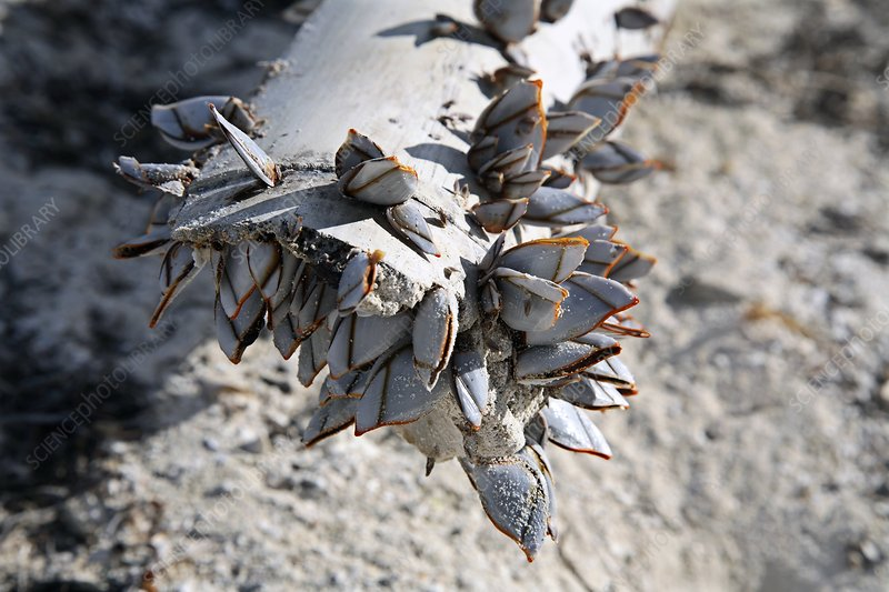 Goose barnacles on driftwood
