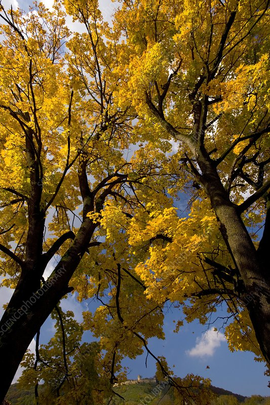 Norway Maples (Acer platanoides)