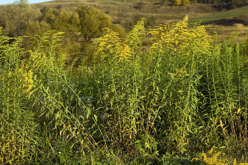 Golden Rod (Solidago canadensis)