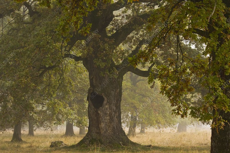 Ancient wood pasture with oak (Quercus)