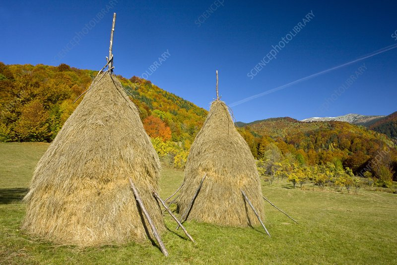 Hay stooks in the Zsil Valley, Romania