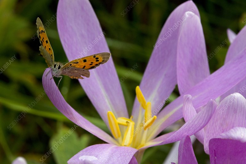 Small Copper Butterfly on flower