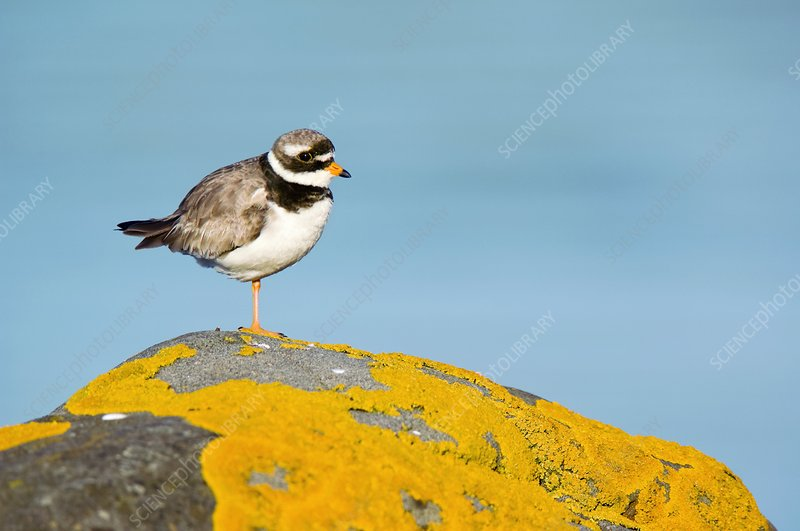 Ringed Plover on a lichen-covered rock