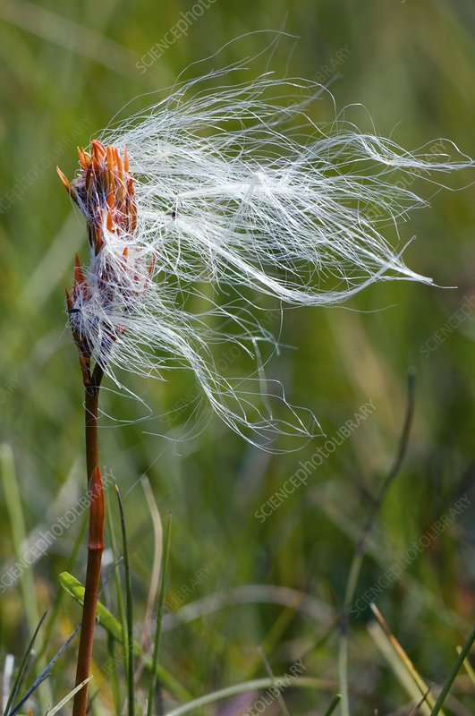 Cottongrass on a bog asphodel seed-head