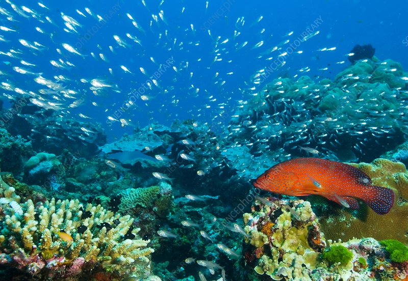 Coral reef, Thailand