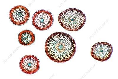 Moss stems, light micrograph