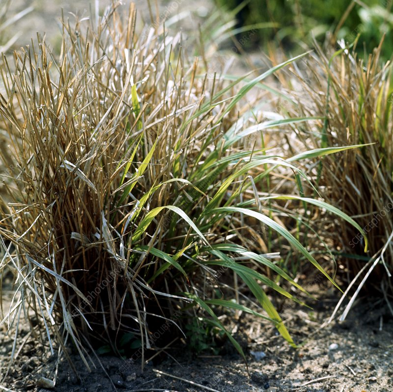 False brome (Brachypodium sylvaticum)