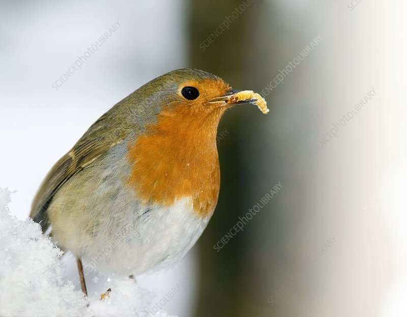 European robin feeding on a mealworm