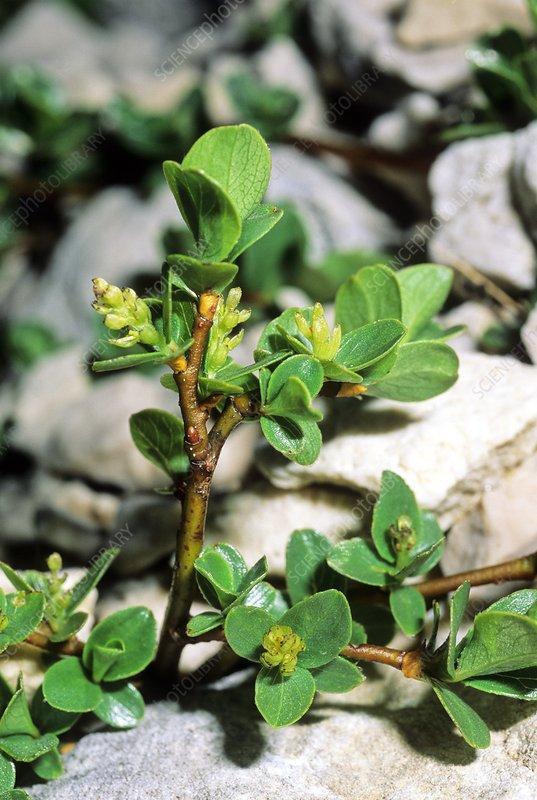 Willow (Salix retusa)