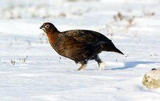 Male red grouse in snow