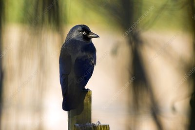 Jackdaw on a fence post