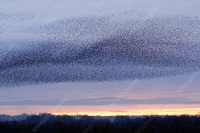 European starling flock