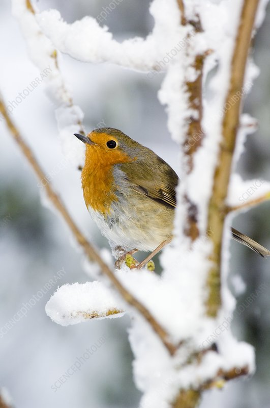 European robin perched in a sycamore tree