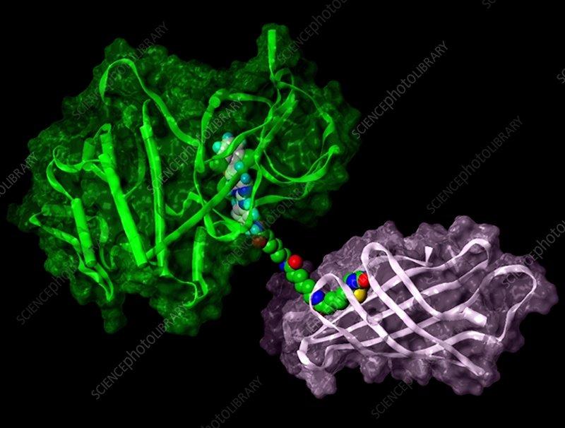 Tyrosine kinase and inhibitor molecule