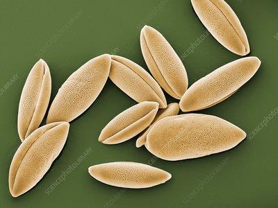 Bluebell pollen grains, SEM