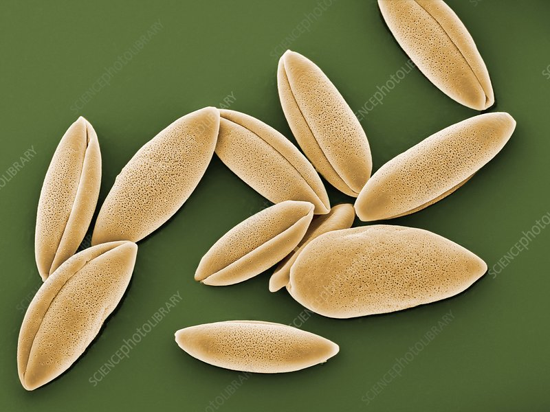 Bluebell pollen grains, SEM