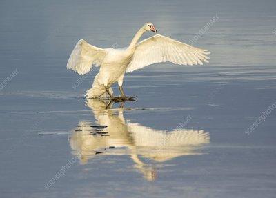 Mute swan landing on icy water