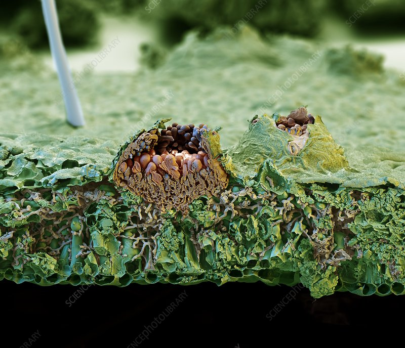 Leaf infected with rust fungus, SEM