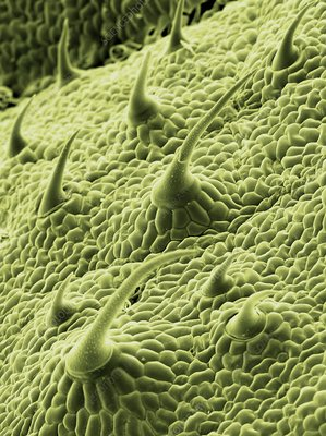 Nettle leaf trichomes, SEM