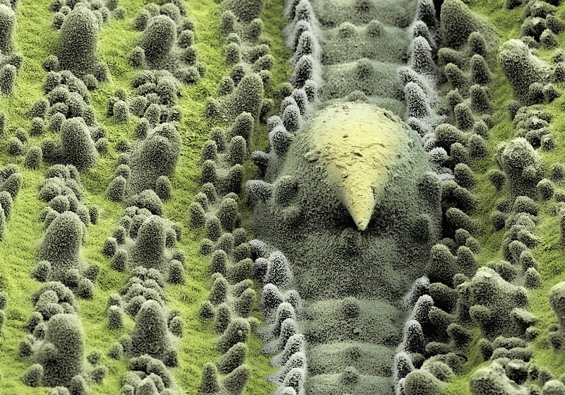 Leaf surface, SEM