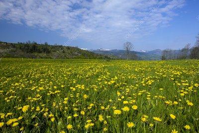 Dandelion field (Taraxacum officinale)