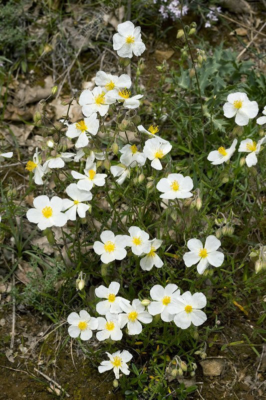 White Rock-rose (Helianthemum apenninum)
