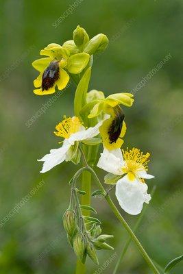Ophrys lutea and Helianthemum apenninum