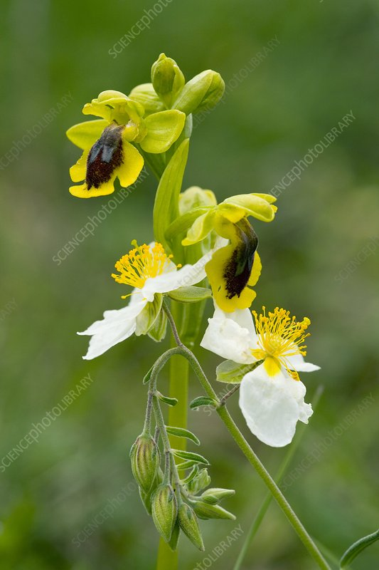 Ophrys lutea and Helianthemum apenninum