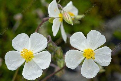 White Rock-rose (Helianthemum apenninum)