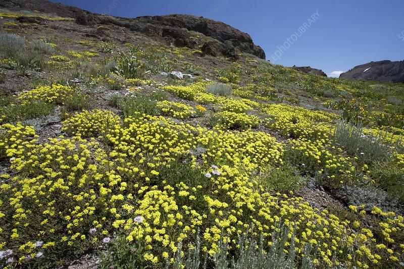 Sulphur flower (Eriogonum umbellatum)