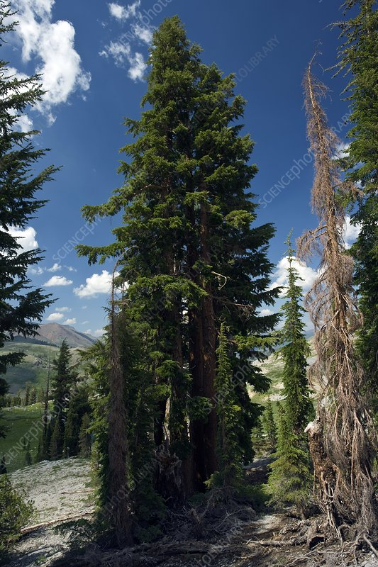 Red fir (Abies magnifica) trees