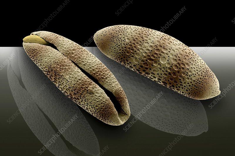 Bromelia pollen grains, SEM