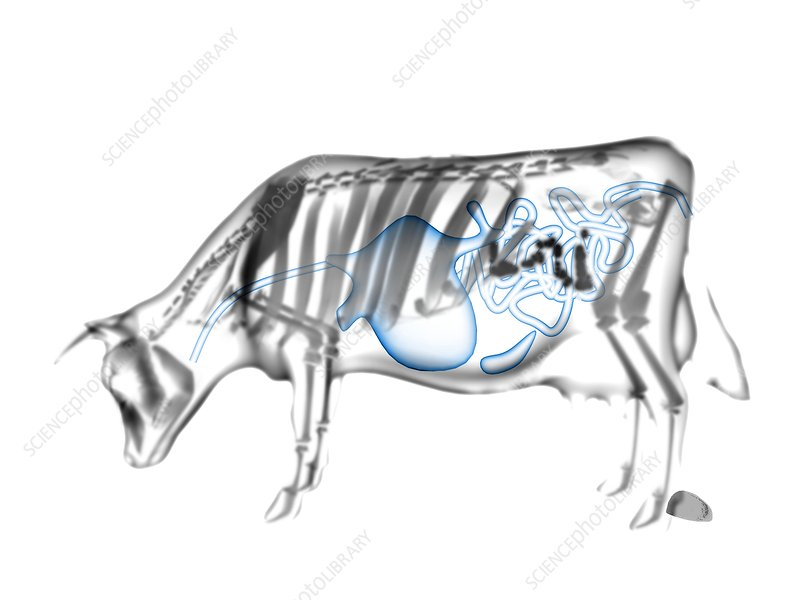 Bovine digestion, X-ray artwork