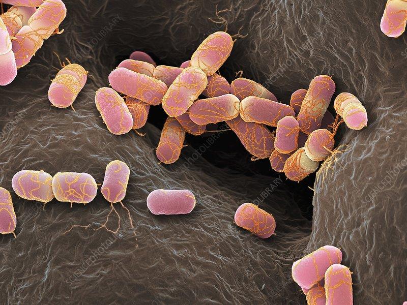Escherichia coli bacteria, SEM