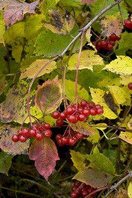 Guelder Rose (Viburnum opulus)