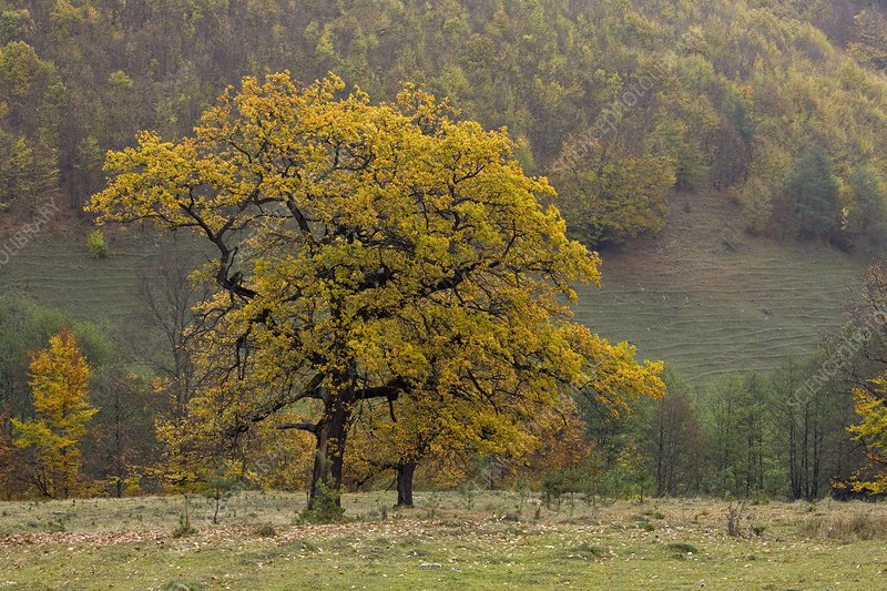 Ancient oaks (Quercus sp.) in Romania