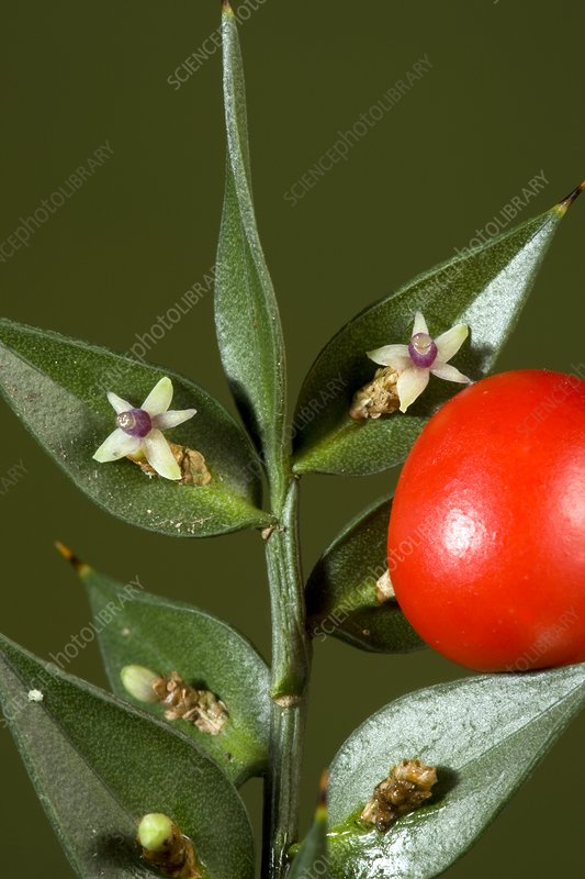 Butcher's Broom (Ruscus aculeatus)