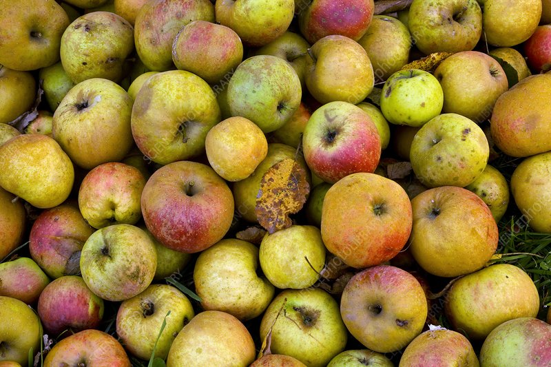 Harvested organic apples