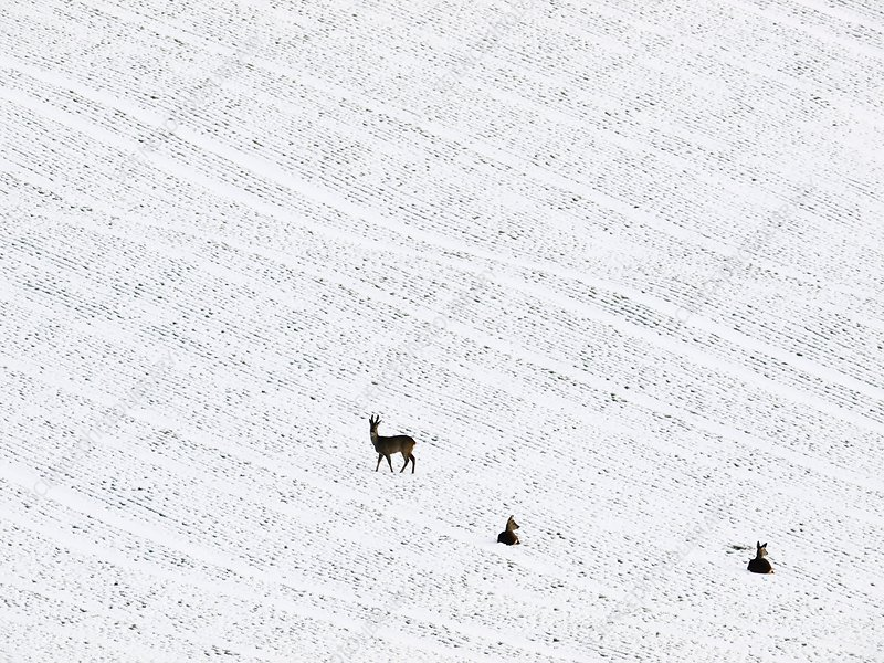 Deer in a distant snow covered field