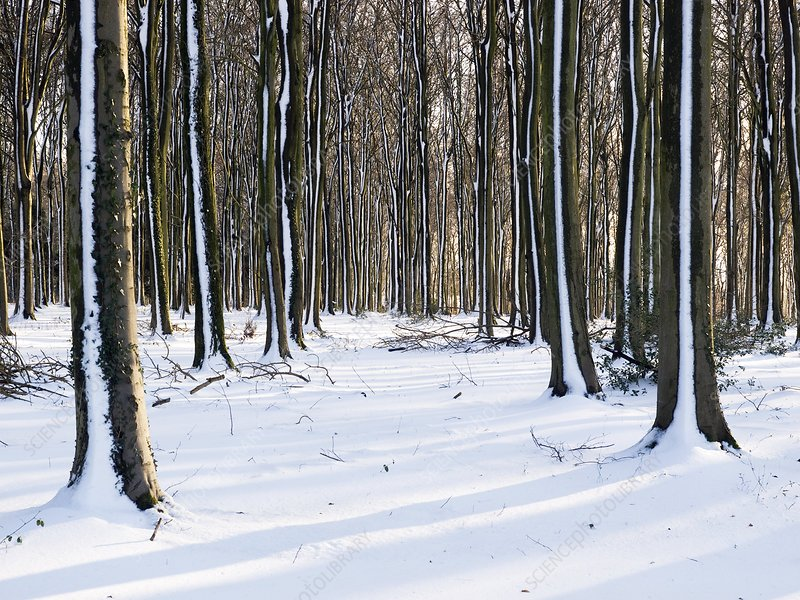 Beech (Fagus) woodland in snow