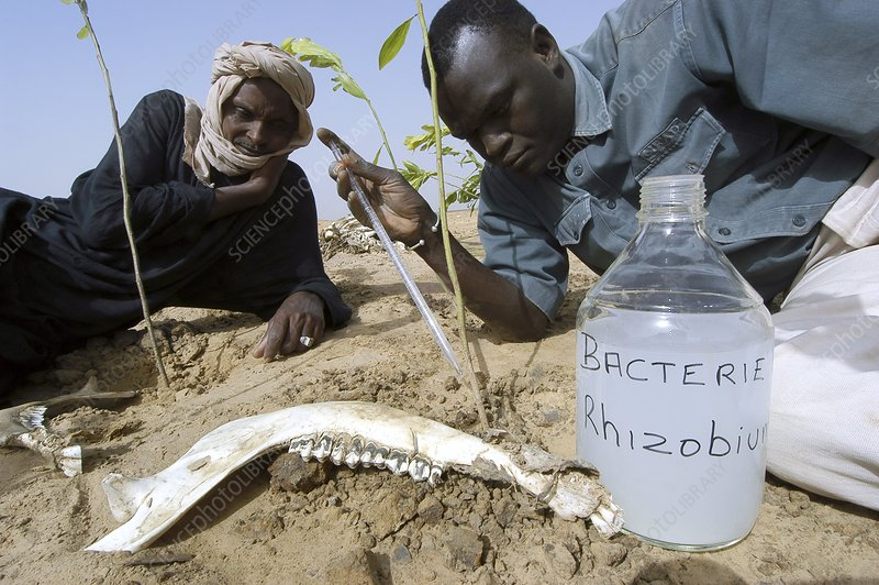 Nitrogen-fixing plants, Senegal