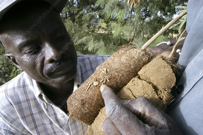 Nitrogen-fixing plant roots, Senegal