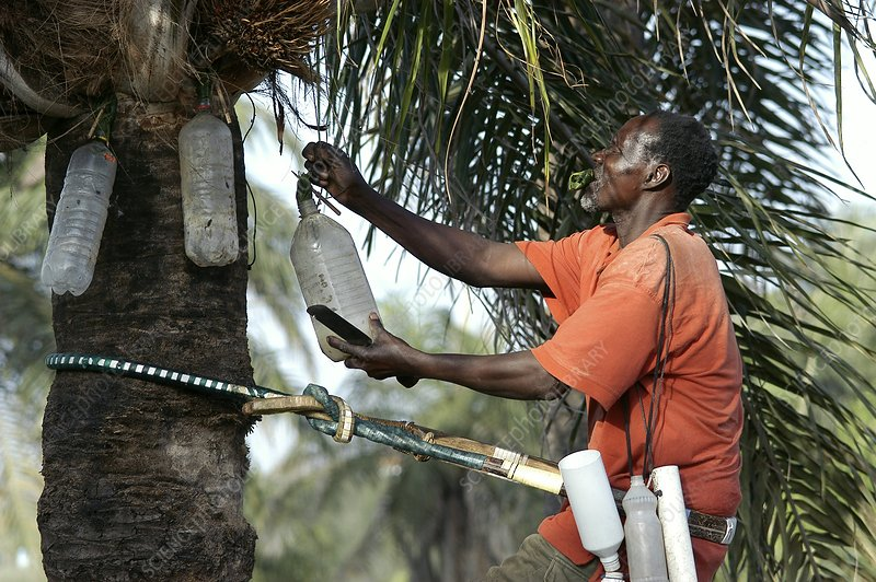 Palm wine production, Senegal