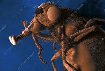Bluebottle fly, SEM