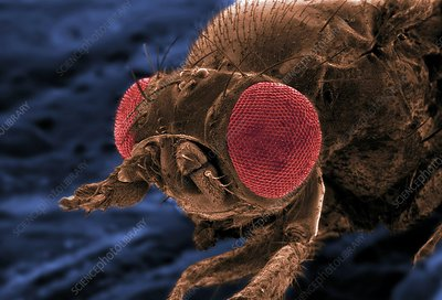 Mutant fruit fly, SEM