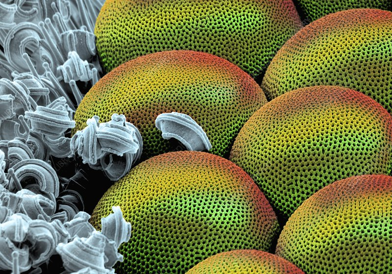 Whitefly compound eye, SEM