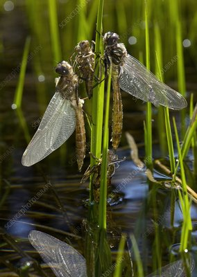 Newly-emerged dragonflies